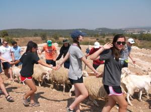 Herding sheep at Ne'ot Kedumim